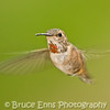 Rufous Hummingbird female, Castlegar, British Columbia, 2008.