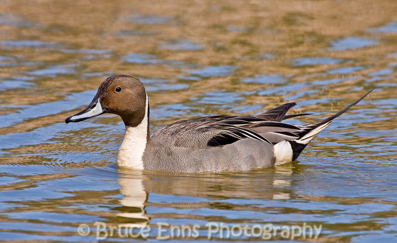 Northern Pintail male, Reifel Bird Sanctuary, near Vancouver, BC, 2008