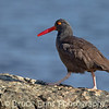 Black Oystercatcher, Saxe Point Park, Victoria, Feb 2012