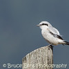 Northern Shrike - Castlegar airport, Easter April 8, 2012