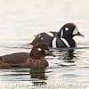 Female Harlequin Duck (male out of focus behind) on the ocean, Ross Bay Victoria, Feb 2012