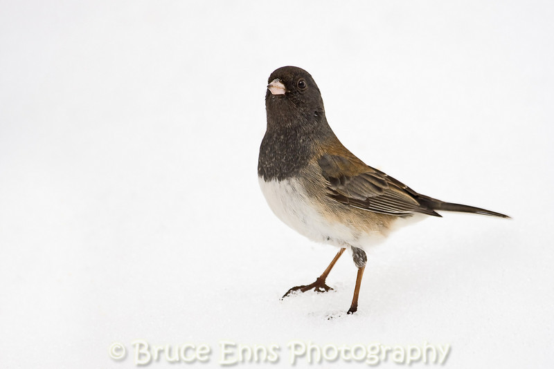 Dark-eyed Junco in snow (Oregon subspecies, pale adult), Castlegar, BC