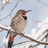 Fresh looking Northern Flicker - Castlegar, January 2013