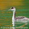 Horned Grebe in non-breeding winter plumage - Harrison Lake, B.C.
