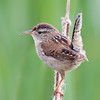 A Marsh Wren on an old Typha stalk at Swan Lake Nature Sanctuary in Victoria BC.  He has lots of tiny hairy bits of Typha fluff on his head and tail, which are a result of nest-building activities.