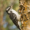 Hairy Woodpecker female