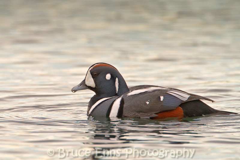 Male Harlequin Duck on the ocean, Ross Bay Victoria, Feb 2012