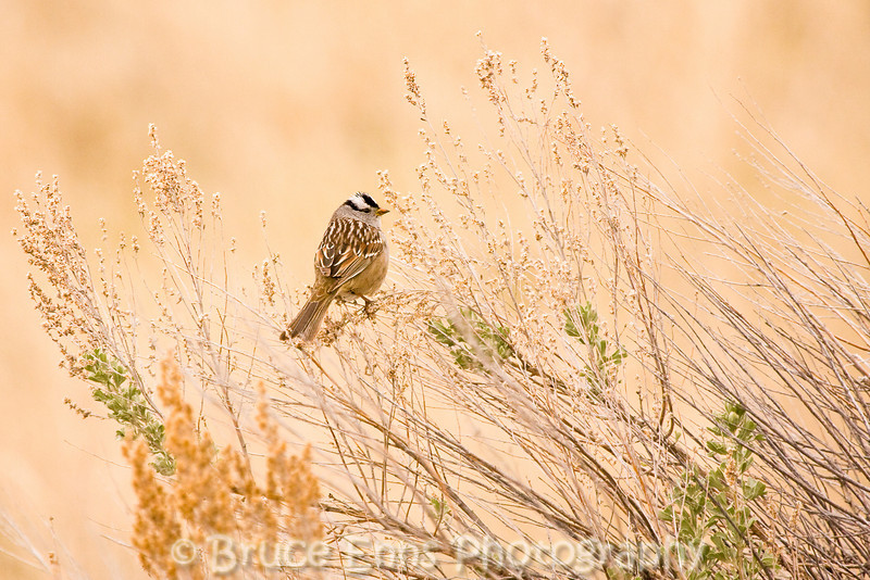 White-crowned Sparrow, near White Lake, in the interior of British Columbia