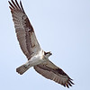 Osprey near confluence of Kootenay and Columbia Rivers