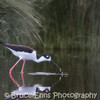 Black-necked Stilt, Elizabeth Lake Nature Sanctuary, Cranbrook, British Columbia, BC, 2008