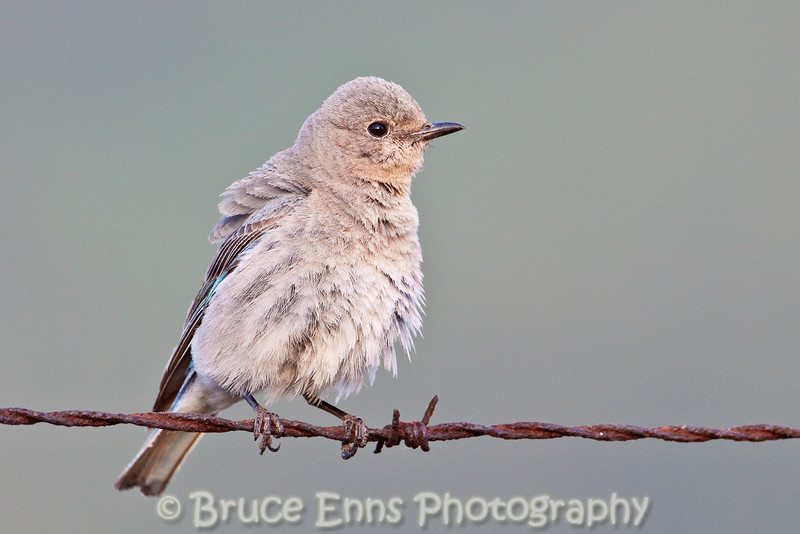 Mountain Bluebird female loosening up