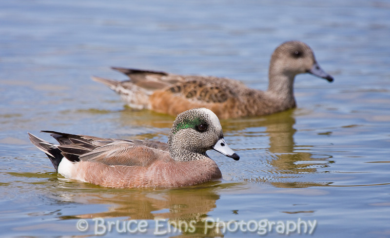 American Widgeon pair, Reifel Bird Sanctuary, Vancouver, British Columbia, 2008