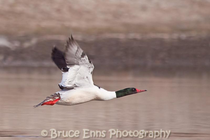 Common Merganser male lift-off, Zuckerberg Island pond, Castlegar