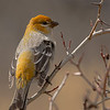 Pine Grosbeak, Taghum, BC, March 2012