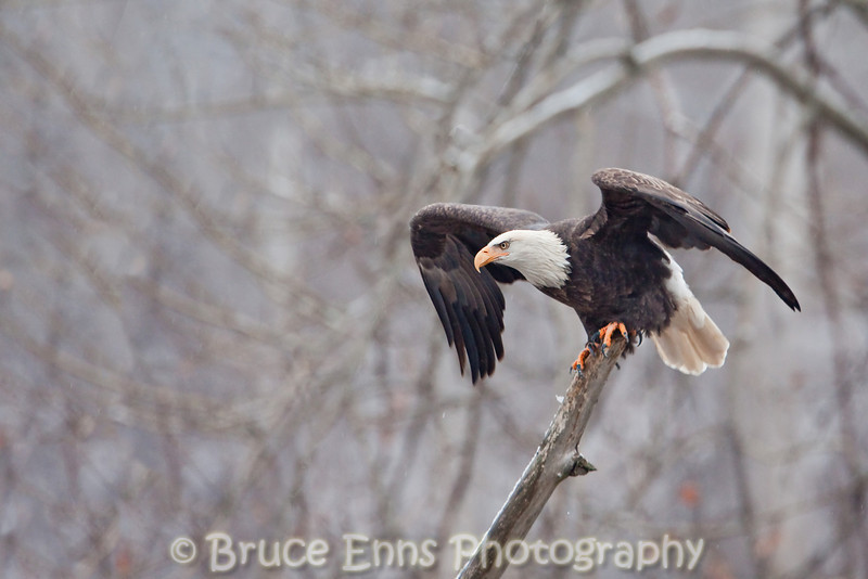 Bald Eagle ready for lift off, Pass Creek near Castlegar