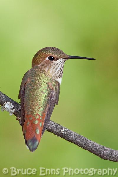 juvenile male Rufous Hummingbird from my backyard.