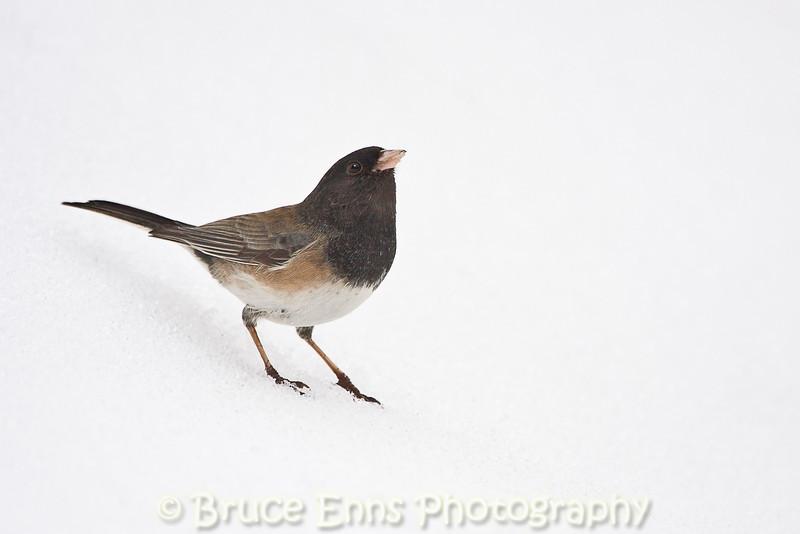 Dark-eyed Junco in snow (Oregon subspecies, pale adult), Castlegar, BC