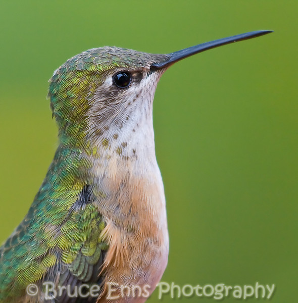 Calliope Hummingbird, North America's smallest hummingbird, female, Castlegar, BC, 2008