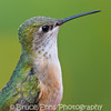 Calliope Hummingbird, North America's smallest hummingbird, female, Castlegar, BC, 2008