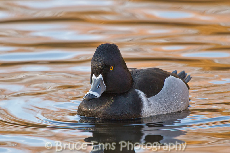 Male Ring-necked Duck, King's Pond, Victoria, Feb 2012