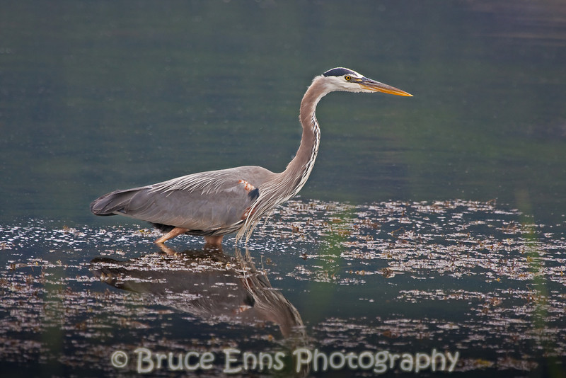 Great Blue Heron on the hunt in Duck Lake, near Creston BC