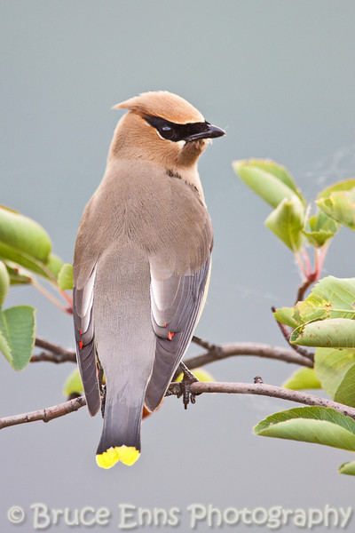 Young Cedar Waxwing south of Trail BC airport