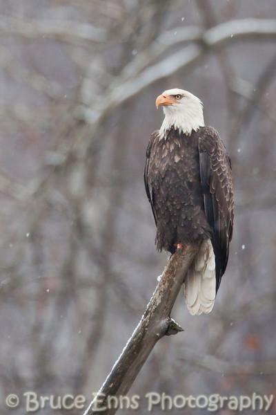 Bald Eagle in light snow, Pass Creek near Castlegar