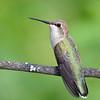 Black-chinned Hummingbird female, Castlegar, British Columbia