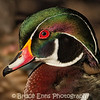 Male Wood Duck, King's Pond, Victoria, Feb 2012