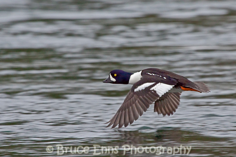 Barrow's Goldeneye male, Columbia River near Kootenay River confluence, Castlegar, BC, 2009