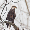 Bald Eagle in snow, Pass Creek bridge, Robson BC