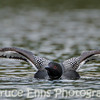 Common Loon stretching wings prior to a wing flap on Champion Lake #2, Champion Lakes Provincial Park, near Fruitvale BC...shot from a kayak