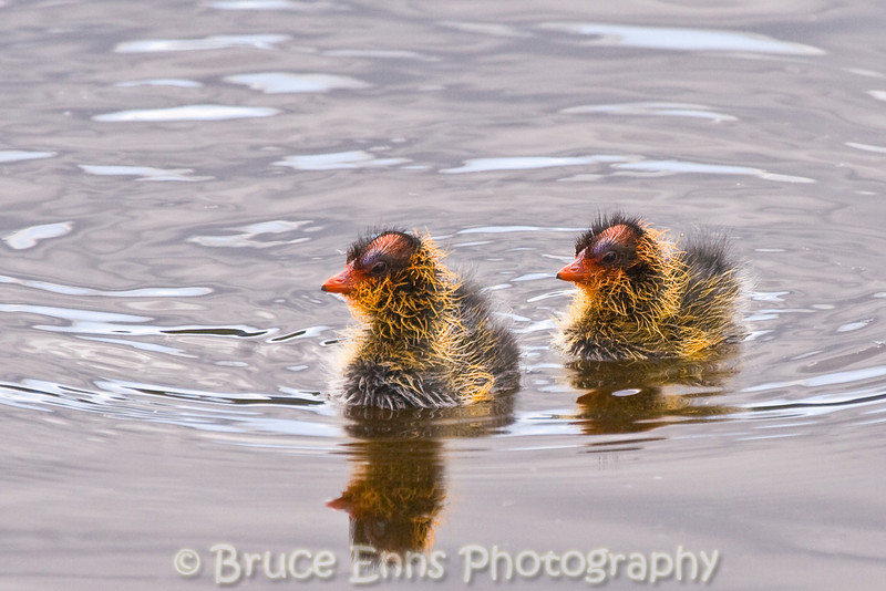 American Coot - chicks, at Elizabeth Lake Nature Sanctuary, Cranbrook, British Columbia