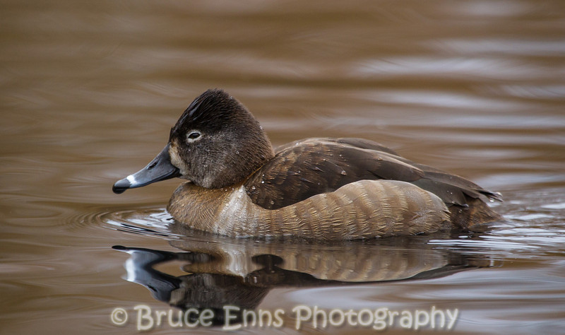 Ring-necked Duck hen - King's Pond, Victoria, February 2013