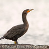 Double-crested Cormorant, Ross Bay, Victoria, Feb 2012