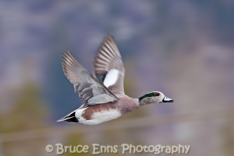American Widgeon in flight, Zuckerberg Island pond, Castlegar