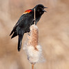 Red-winged Blackbird, Brandt's Marsh, Kelowna waterfront