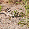 Killdeer chick, Castlegar