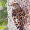 Northern Flicker, my backyard in Castlegar, British Columbia