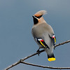 Bohemian Waxwing, my backyard in Castlegar