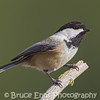 Black-capped Chickadee, Castlegar, February 2013