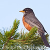 The ubiquitous American Robin...seen everywhere and often, is a beautiful bird