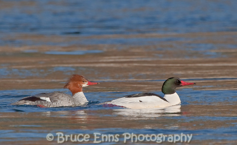 A pair of Common Mergansers on the Columbia River near Tin Cup Rapids at Castlegar.