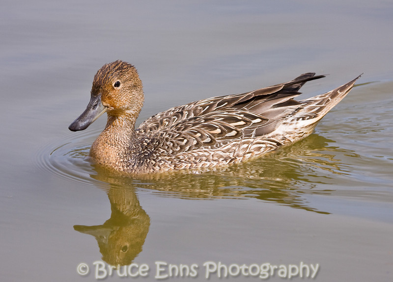 Northern Pintail female, Reifel Bird Sanctuary, near Vancouver, BC, 2008