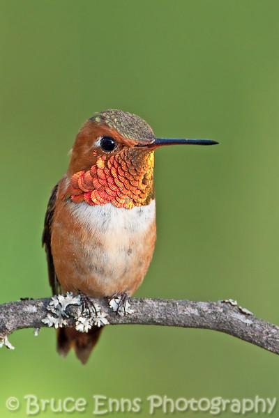 The dominant male hummingbird in my backyard this year (2009).  Rufous Hummingbird