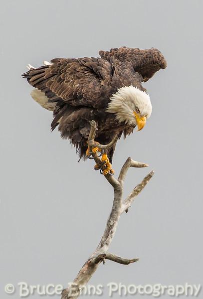 Bald Eagle regaining balance - Castlegar, November 2012