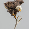 Bald Eagle regaining balance - Castlegar, November 2012