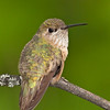 Calliope Hummingbird female
