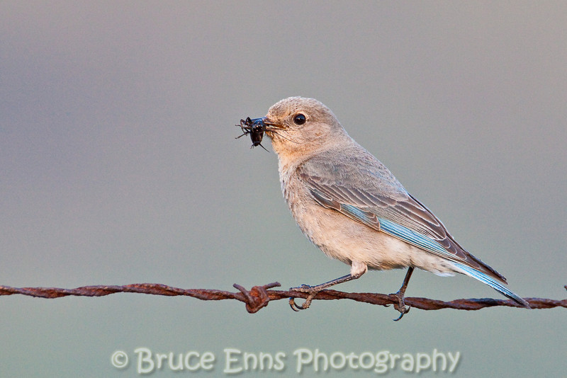 Mountain Bluebird female with supper for one of her chicks
