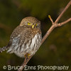 Northern Pygmy Owl on the prowl in our backyard in Castlegar...showing a bit of blood on feathers from last meal, January 2011